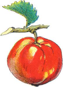 image of apple on twig